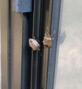 two stink bug enlarged